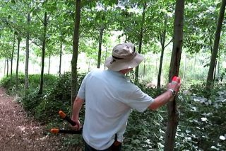 Curso de poda de frondosas para producir madeira de alto valor
