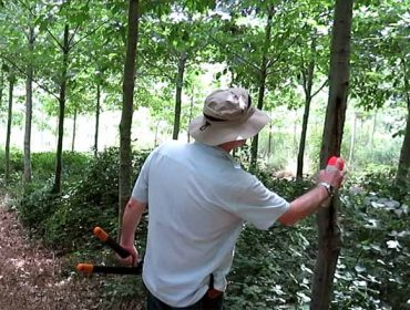 Demostración de poda e rareo de carballo americano en Boqueixón