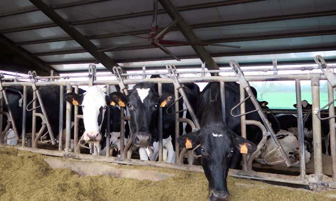 A granxa ten instalados ventiladores que refrescan directamente ós animais.