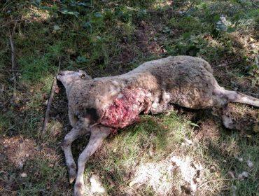 Unións reclamará no xulgado á Xunta polos danos que provoque o lobo nas ganderías