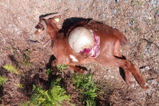 Cabuxa Natur, una ganadería de referencia en Galicia a punto de cerrar por los ataques del lobo