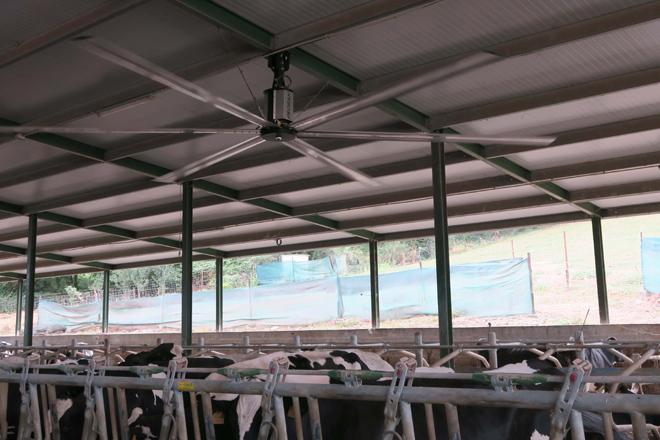 Ventilador que instalaron para refrescar as vacas
