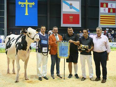 187 animais participarán en Xixón no Concurso Nacional da Raza Frisoa