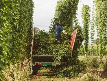 La AGACAL participa en una investigación para mejorar el cultivo del lúpulo en Galicia