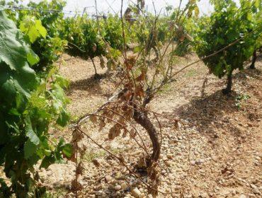 Cuidados de la viña: Advierten de las enfermedades de la madera en el viñedo por la subida de las temperaturas