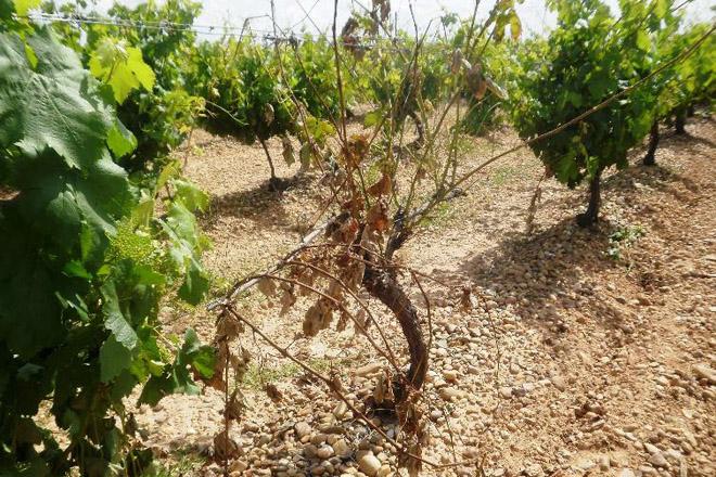 Coidados da viña: Advirten das enfermidades da madeira no viñedo pola suba das temperaturas