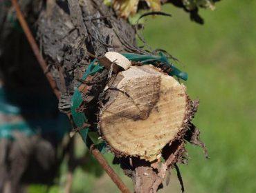 Claves para previr as enfermidades da madeira en viñedo