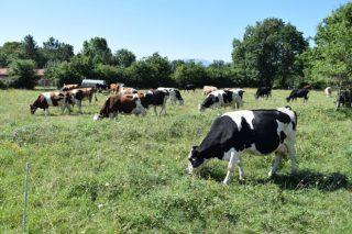 O vacún de leite, próximo reto para reducir o consumo de antibióticos