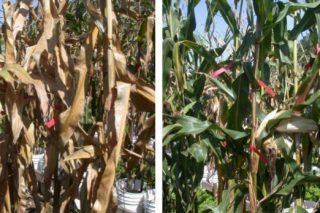 """""""Os rendementos do millo poden aumentar até 1 tonelada de gran por hectárea coa senescencia retardada"""""""