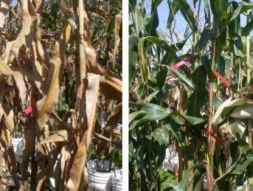 """""""Los rendimientos del maíz pueden aumentar hasta 1 tonelada de grano por hectárea con la senescencia retardada"""""""
