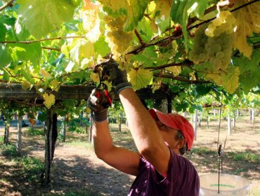 Unións pide que se poda comercializar o exceso de uva previsto para esta vendima