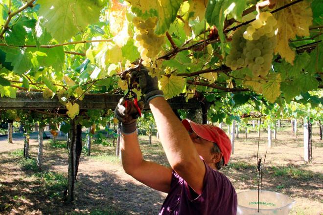 Unións pide que se pueda comercializar el exceso de uva previsto para esta vendimia