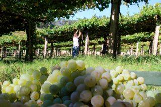 Unións critica que se primen as adegas sobre os viticultores nas axudas ao viñedo