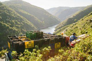 Récord de la vendimia en la Ribeira Sacra, que ya supera los 7 millones de kilos