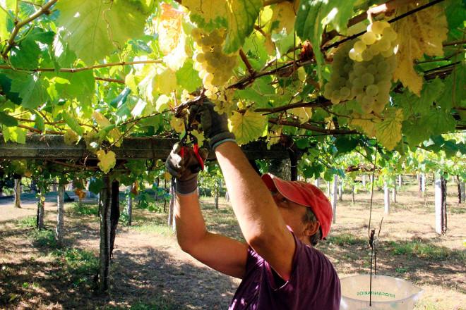 Limitar ou non os rendementos dos viñedos nas Denominacións de Orixe: O caso de Rías Baixas