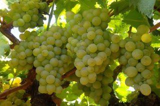 Aumenta la deshidratación de las uvas y el grado alcohólico con el tiempo seco y soleado