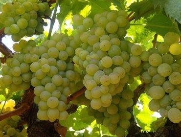 Aumenta a deshidratación das uvas e o grao alcohólico co tempo seco e solleiro