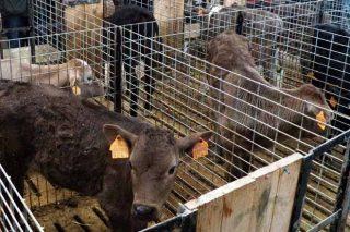 Suba dos becerros de recría de Frisoa e do vacún maior en Silleda
