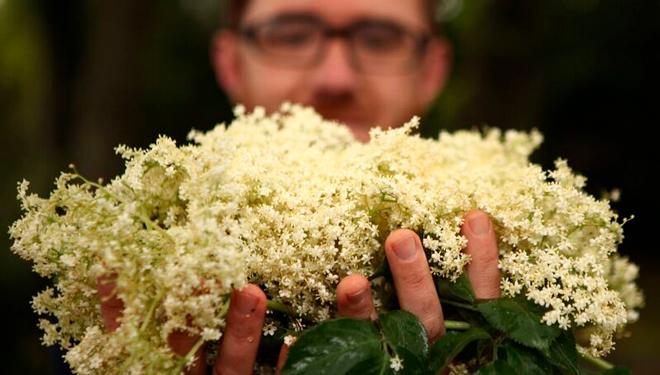 flor-sabugueiro-