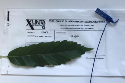 Campaña da Xunta para garantir o ADN do castiñeiro galego que venden os viveiros
