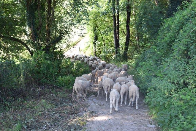 Gandaría ovina e caprina, un sector en retroceso en Galicia, pero con grande potencial
