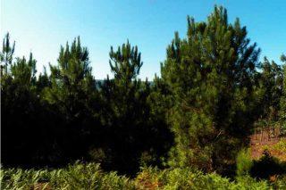 Pés de piñeiro ('Pinus pinaster') procedentes das Landas e Córcega.