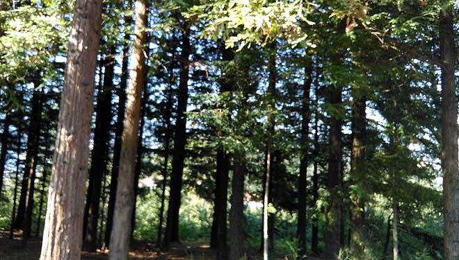 Parcela de sequoias en Lourizán.