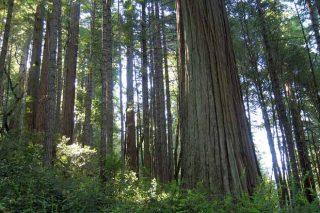 Posibilidades produtivas da sequoia en Galicia