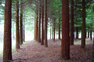 Experiencias de Lourizán co piñeiro de Oregón e coa sequoia