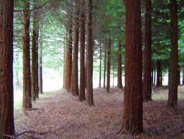 Experiencias de Lourizán con el pino de Oregón y con la sequoia