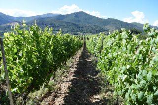 A D.O. Valdeorras lidera Galivino, unha ferramenta para certificar a orixe dos viños galegos
