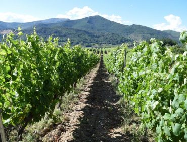 Areeiro recomenda renovar tratamentos nas viñas de xeito puntual