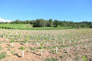 Convocadas as axudas para reestruturación e reconversión do viñedo en Galicia