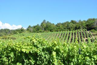 Curso gratuíto de técnicas de cultivo da viña en Galicia