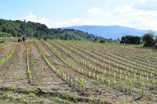 Autorizan la plantación de 37 hectáreas de nuevos viñedos en Galicia