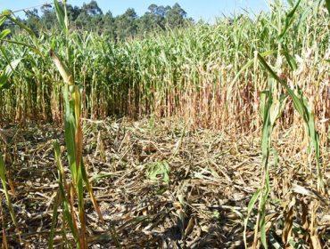Unións insta ós tecores a facer axexos para o control do xabaril ante os primeiros danos no millo