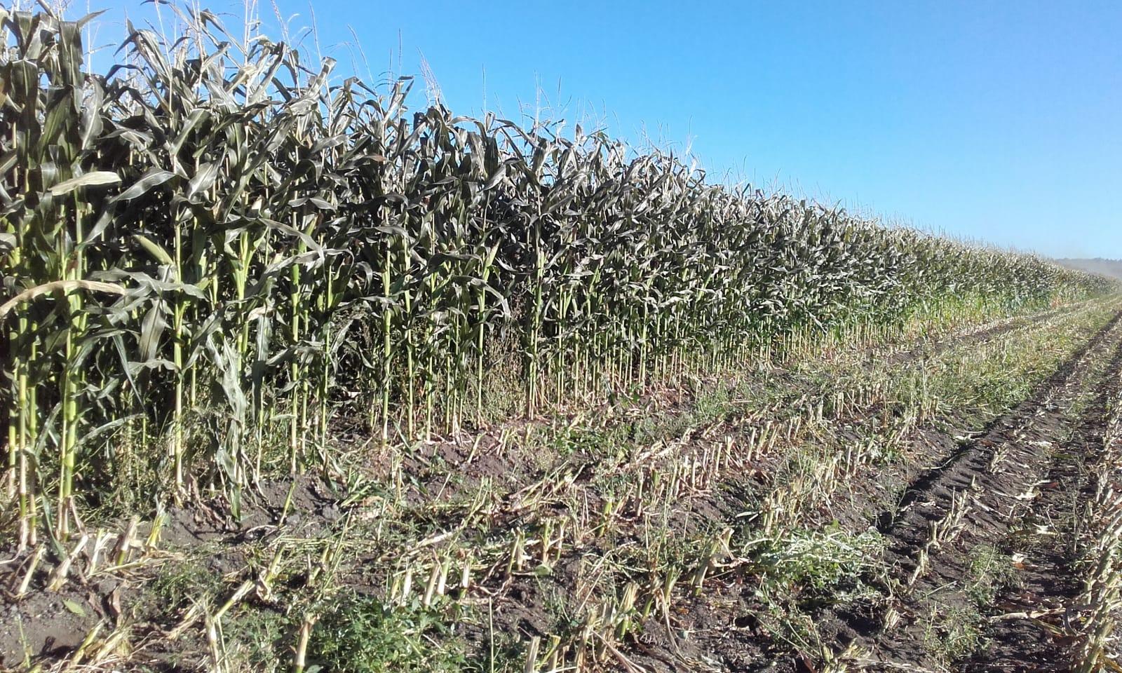 Resultado positivo del primer ensayo de cultivo de forrajes en ecológico en A Limia
