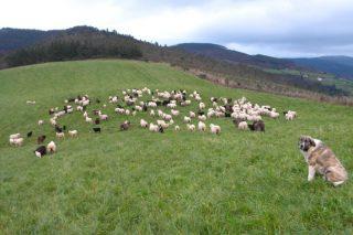 """Os gandeiros e ovino e caprino denuncian que a Xunta """"se desentende"""" dos ataques dos lobos"""