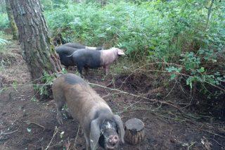 O pastoreo de porco celta, unha crianza que transforma a maleza en carne de calidade