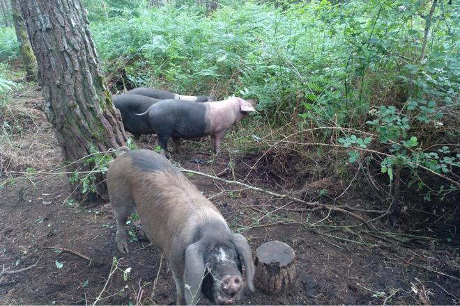 Beneficios do silvopastoreo con Porco Celta