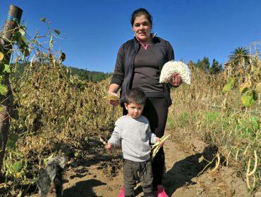 Murias Maseda, una de las mayores productoras de haba fresca de Galicia