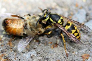 ¿Como combaten en Sudamérica la invasión de avispas exóticas?