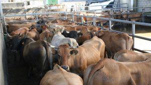 Vacas-Frigorificos-Bandeira-