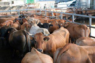 Convocadas as axudas por sacrificio obrigatorio de animais
