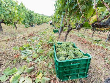 La DO Monterrei consigue su mejor vendimia con 5,59 millones de kilos de uva