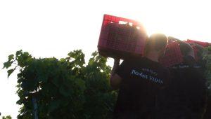 """La vendimia se realiza de un modo manual y salvando un importante desnivel, lo que la convierte en una """"viticultura heroica""""."""