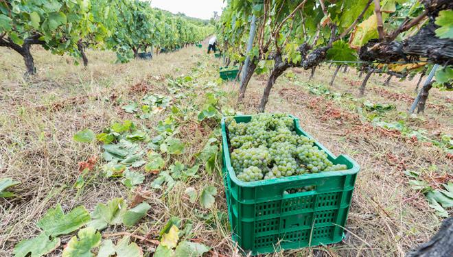 A DO Monterrei acada a súa mellor vendima con 5,59 millóns de quilos de uva