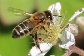 Programa das Xornadas Apícolas do Eume, centradas na mellora xenética das abellas