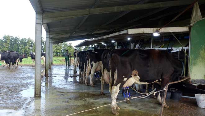 Una de las cuatro salas de ordeño móvil de la ganadería, que tienen la particularidad de estar en una instalación cubierta.