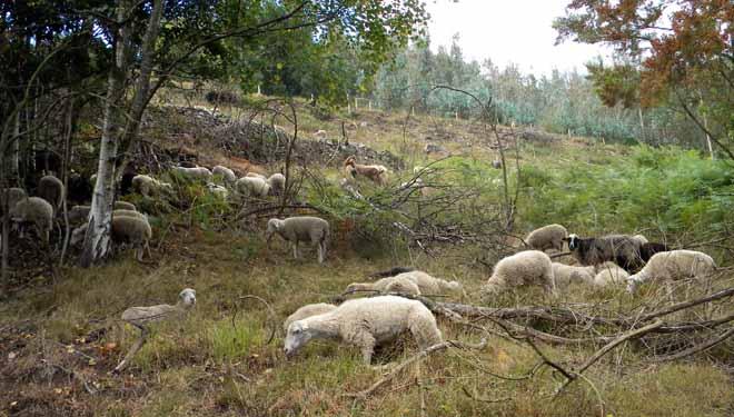 Gandería de Ovica pastando baixo arborado e e en pastos arbustivos. Ao fondo, plantación ilegal de eucaliptos en terras agrarias.